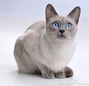 gatto-siamese-che-sembra-curioso-11571073